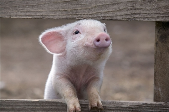 Африканская чума свиней. Симптомы и меры профилактики.