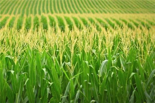 В Красночетайском районе Чувашской Республики установлены феромонные ловушки на вредителей кукурузы