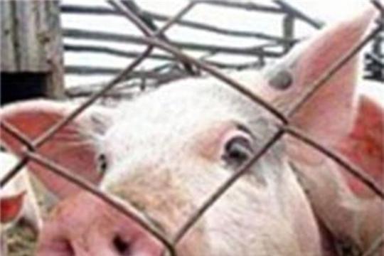 Эпизоотическая ситуация по африканской чуме свиней