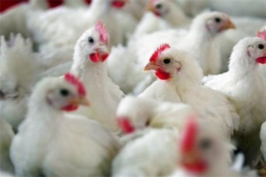 В России продолжает распространяться грипп птиц