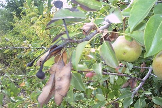 Карантинные организмы наносят огромный вред плодовым и декоративным растениям
