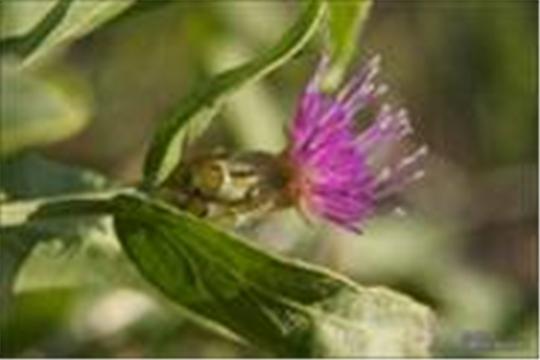 Горчак ползучий – вредоносный сорняк