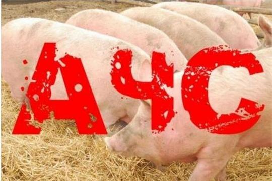 Африканская чума свиней на территории Моргаушского района Чувашской Республики